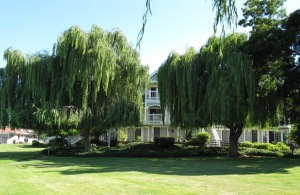 image of weeping willows on the Marina Green