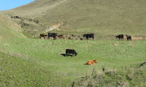 photo of range cattle: heard before seen