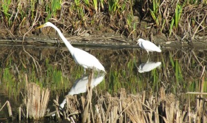 photo of common (left) and snowy (right) egrets in the Penitencia Creek Gardens pond