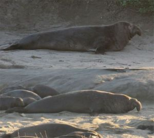 picture of male elephant seals with distinctive noses