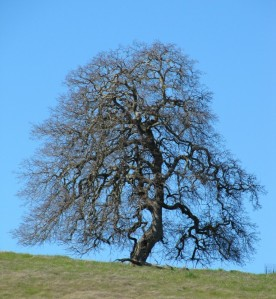 photo of beautiful valley oak silhouetted against the sky