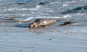 picture of male elephant seal catching some gentle waves