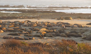image of elephant seal colony on the beach