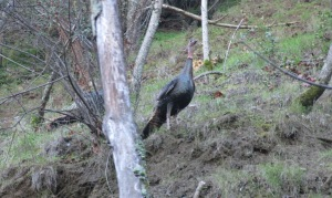 photo of wild turkey on the hillside above the creek