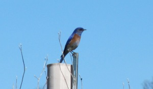 picture of Western Bluebird