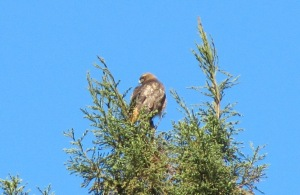 picture of red-tailed hawk in a tree-top surveying its surroundings