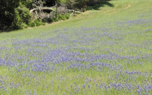 image of field of lupine
