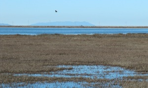 picture of Mt Tamalpais across salt marsh and levees