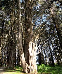 image of Monterey cypress along Quarry Road