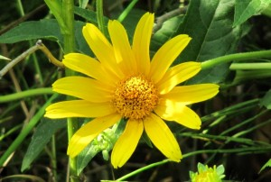 photo of false sunflower, or oxeye