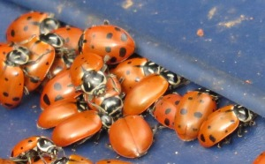 picture of crowd of lady bugs on a tarp