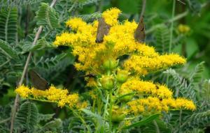 image of Canada goldenrod