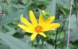 image of woodland sunflower