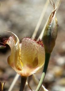 picture of late-flowered mariposa lily, side view