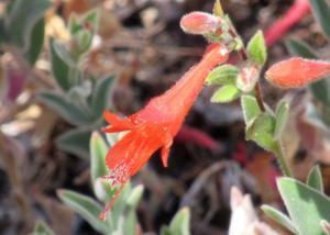 picture of California fuchsia