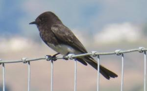 picture of black phoebe resting between insect-capturing flights